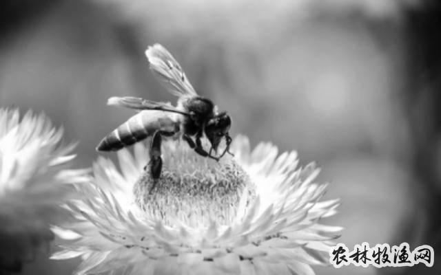 人工养蜂重在繁育管理
