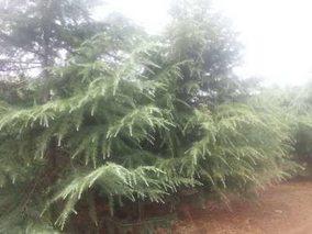 雪松种子的播种与催芽方法