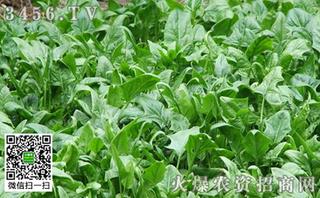 菠菜菜螟的防治