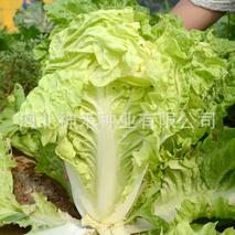 毕节市新寨村极速5分排列3蔬菜基地今秋种植白菜300亩