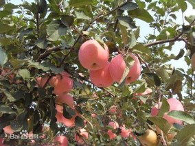 东马屯红富士苹果