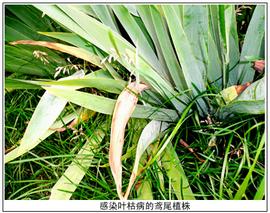 鸢尾叶枯病的防治方法