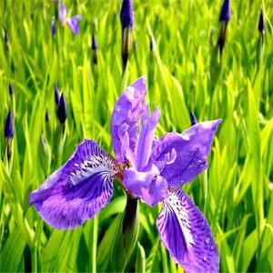 紫花鸢尾什么时候播种