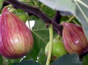吃无花果会过敏吗