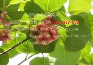 湖南隆回猕猴桃新品种助农增收