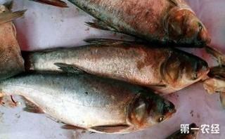 专家提醒:白鲢鱼的常见疾病和防治