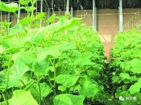 大棚种植黄瓜易发生这种病 农户一定要注意