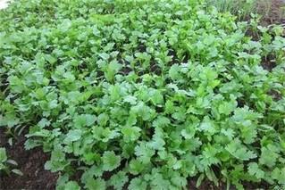 夏季香菜种植技巧