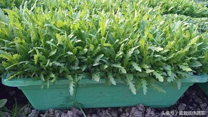高密度种植技术
