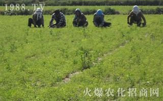 黄芪的田间管理技术