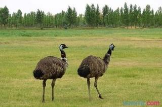 常见驼鸟疾病综述