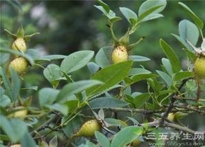 刺梨子的功效与作用